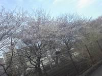 昭島の桜が見どころ