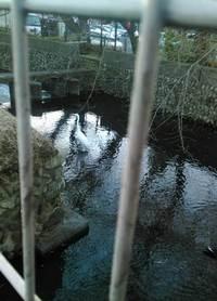 ダイサギが玉川上水にいた!