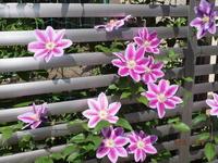 クレマチス花盛り