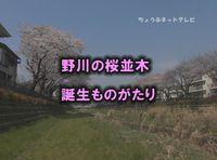 野川の桜並木 誕生ものがたり