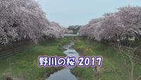 野川の桜2017