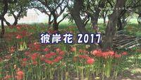 彼岸花2017