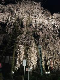 駅近で春を満喫!樹齢200年の桜の下で聴く『夜桜朗読会』