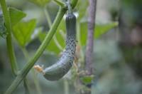 秋野菜の収穫体験と農家のおもてなしランチ