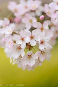 桜の花開く時。。。 2018/03/23 07:48:14