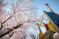 桜花今盛りなり。。。 2018/03/29 07:25:58