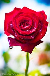 春に咲く薔薇の花が満開です。。。 2018/05/11 08:08:11