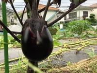 賀茂茄子の収穫