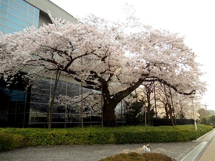 CATV玄関の桜