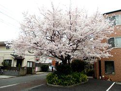 上連雀3丁目の桜