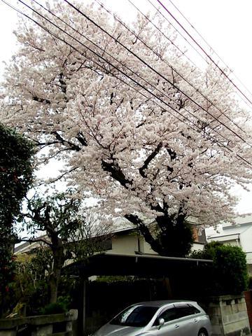 下連雀3丁目の桜