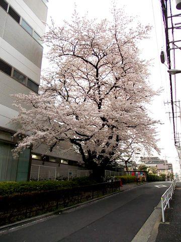 下連雀8丁目の桜