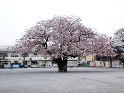二小の桜2015