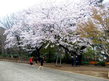 西園・ほたる端際の桜