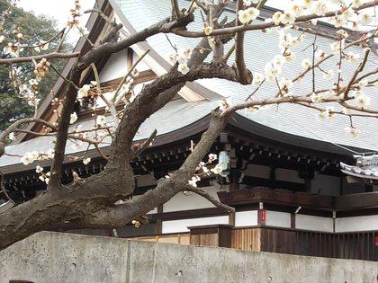 白梅in新川天神社