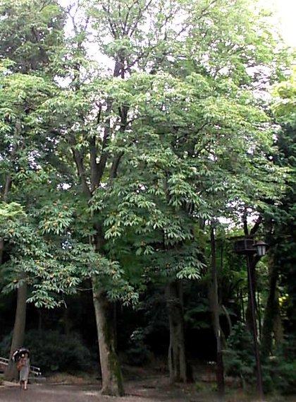 栃の巨木群