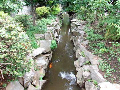 鯉が泳ぐ千川上水清流