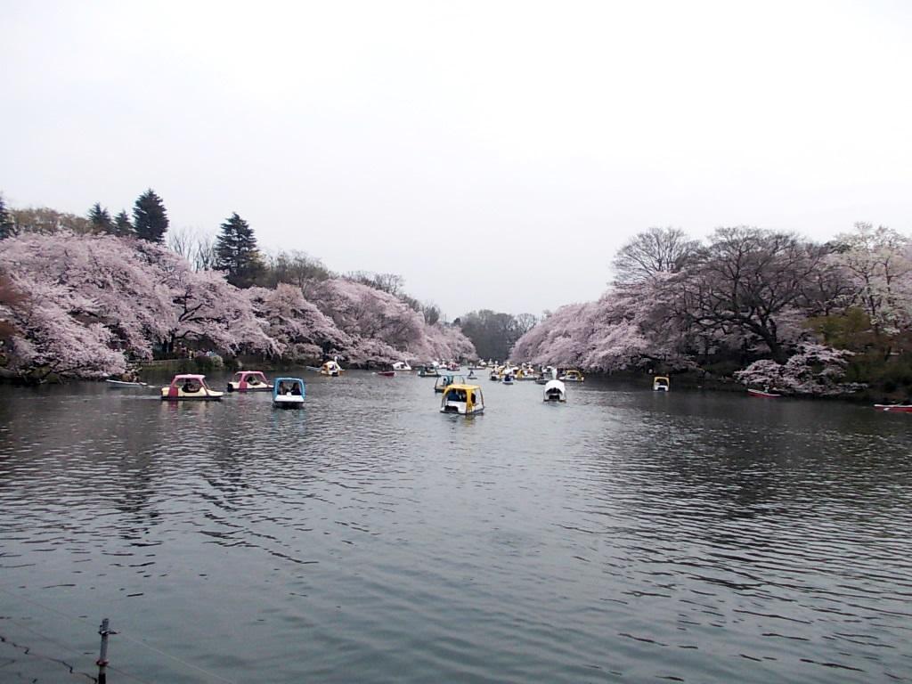 井の頭池は両岸が桜。