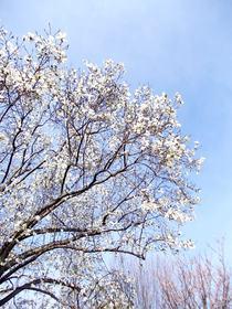繚乱と咲く