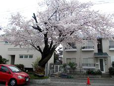 5丁目の桜2