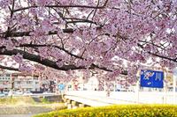 2018年・八王子市・桜開花情報!見ごろ!八分咲き!高齢者の洋服・下着・靴下・専門店・イツミヤ