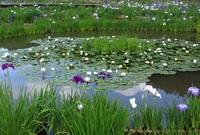 花菖蒲&紫陽花
