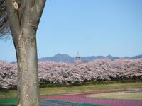 武蔵五日市乙津の龍珠院枝垂れ桜開花はもうちょっと