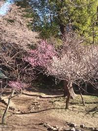 梅が咲いています