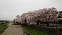 東村山市・空堀川沿いで家族とお花見