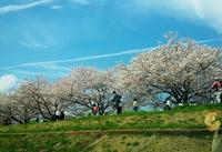 桜だけじゃない、チューリップも天使も楽しめる羽村を家族で満喫♪
