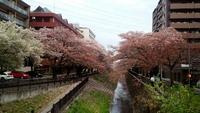 多摩市・多摩センター・乞田川沿いの桜