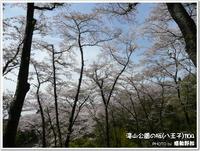 多摩地区の桜:滝山公園の桜1104