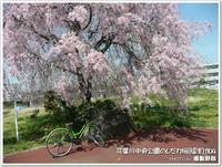 多摩地区の桜:しだれ桜編その1 多摩川中央公園1104