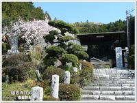 来年こそは、満開のしだれ桜を観たい!~梅岩寺(青梅市)~