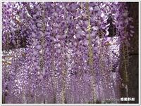 藤の香りの癒されて♪~拝島公園(昭島市)~