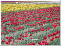 羽村市チューリップ畑~2013年4月20日~