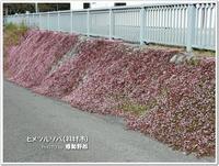 羽村の堰 ピンク色の石垣の正体!「ヒメツルソバ」(羽村市)