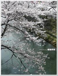 多摩地区、桜観賞2013~羽村の堰(羽村市)~