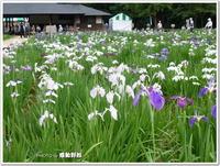 東村山菖蒲まつり2013年~北山公園(東村山市)~