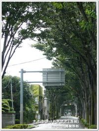 新東京百景!志木街道けやき並木(清瀬市)