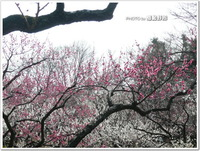 多摩地区梅観賞2013~谷保天満宮(国立市)~