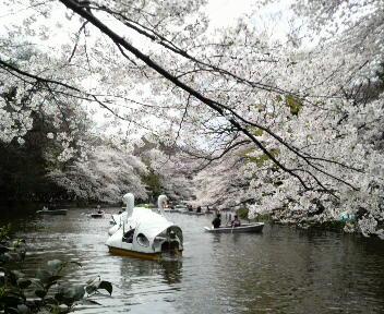 井の頭公園は桜満開、大混雑、大渋滞