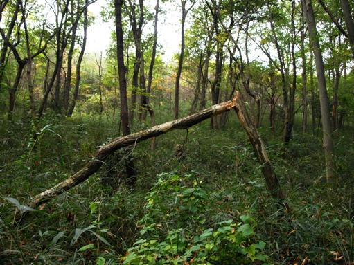 八国山の倒木