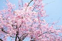 多摩地区の桜・お花見おすすめスポット2014まとめ 2014/04/08 20:00:00