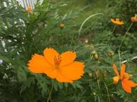夏の陽射しの中で咲くキバナコスモス