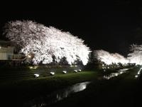 今夜3/30、野川の桜ライトアップ!(調布市)