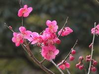 早くも梅の便り♪「谷保天満宮」梅林茶処では「紅梅ゼリー」販売開始