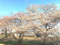 今朝の桜 2018/03/26 09:39:09