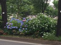 知ってる? 小金井公園にSLが展示されているんです。