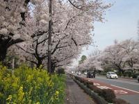 国立駅前大学通り&富士見台さくら通り 満開の桜並木